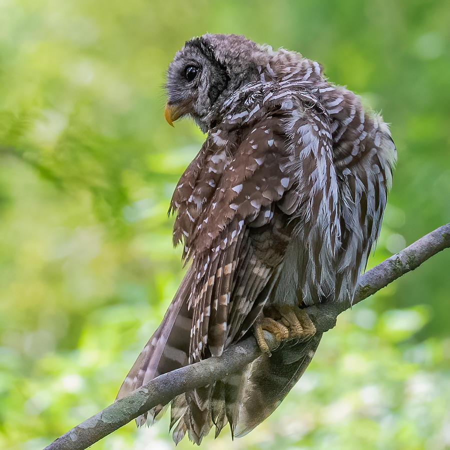 Barred Owl 4 Photograph by Larry Maras