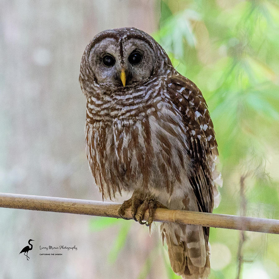 Barred Owl 5 Photograph by Larry Maras