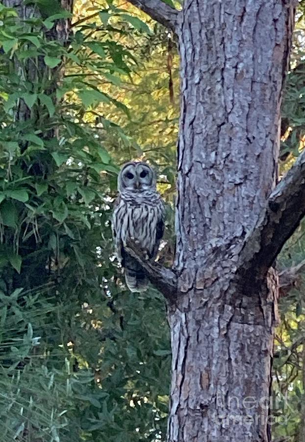 Owl Photograph - Barred Owl by Barbara Von Pagel