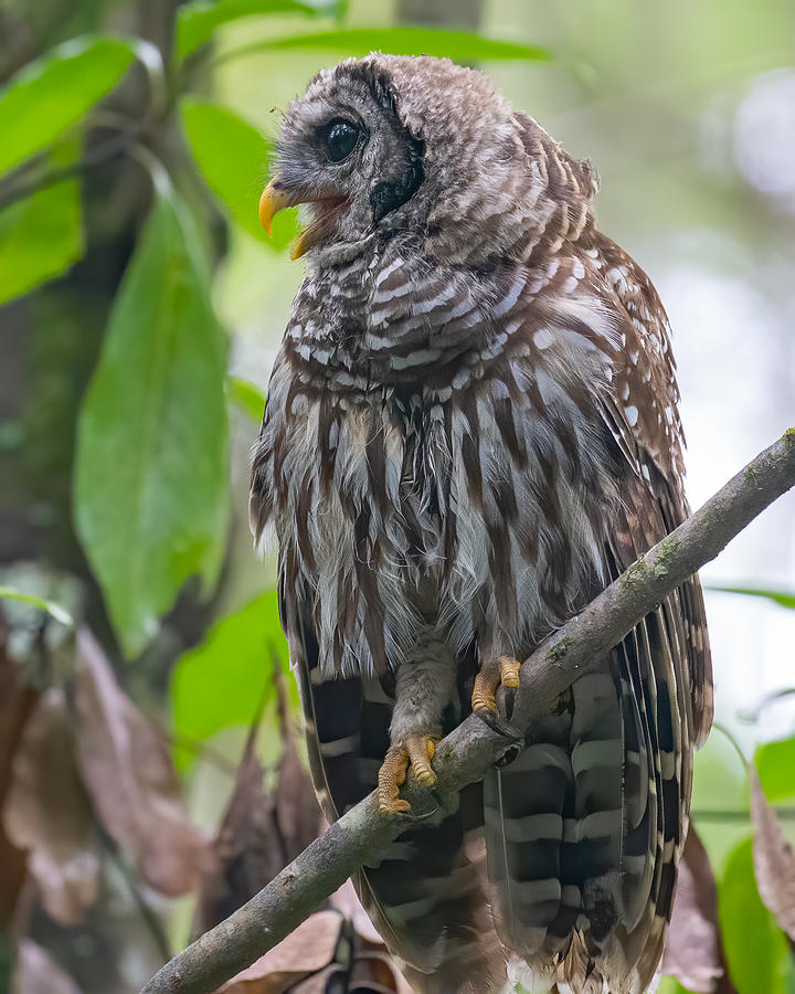 Barred Owl Call Photograph by Larry Maras