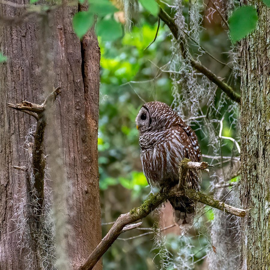 Barred Owl Deep Woods Photograph by Larry Maras