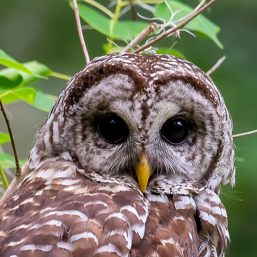 Barred Owl Face Photograph by Larry Maras
