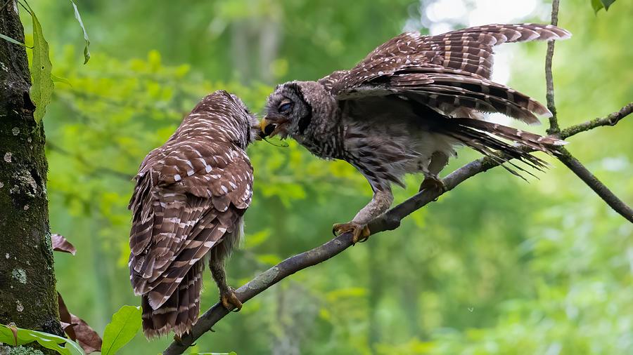Barred Owl Feeding Owlet 1 Photograph by Larry Maras