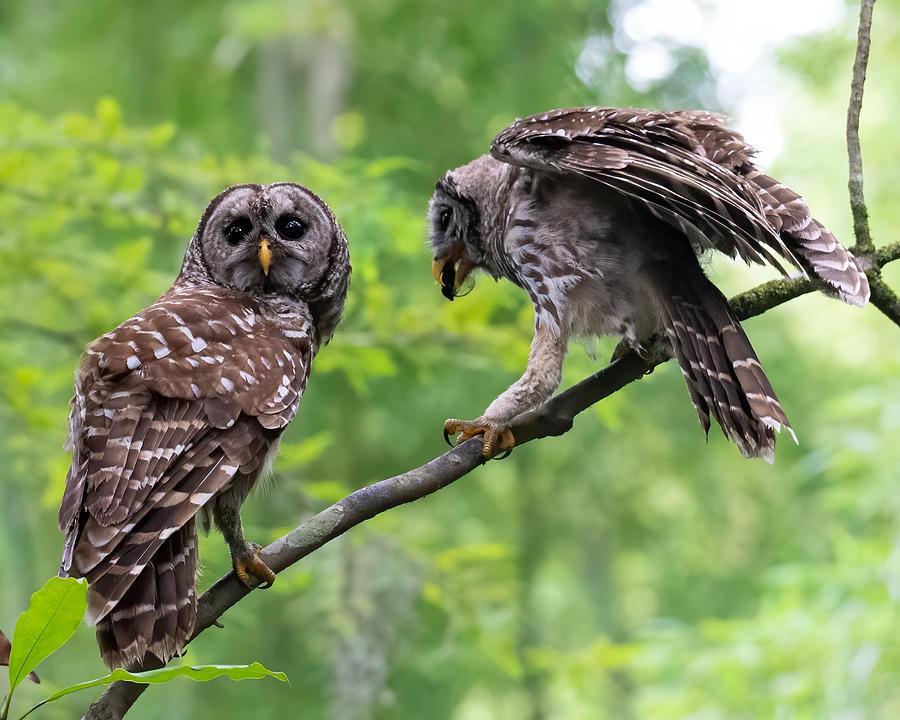 Barred Owl Feeding Owlet 2 Photograph by Larry Maras