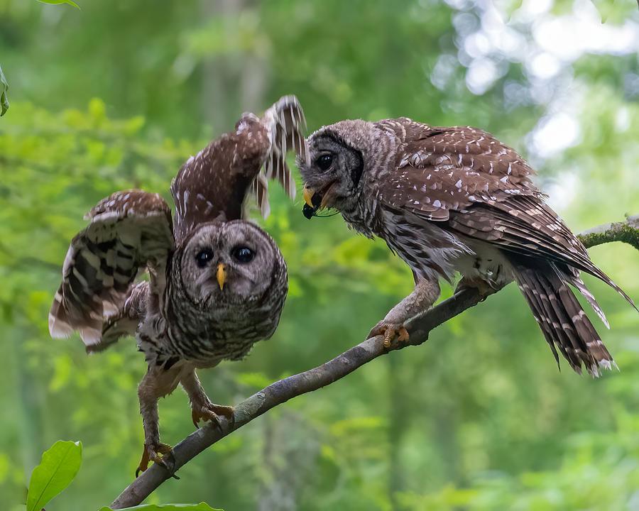 Barred Owl Feeding Owlet 3 Photograph by Larry Maras