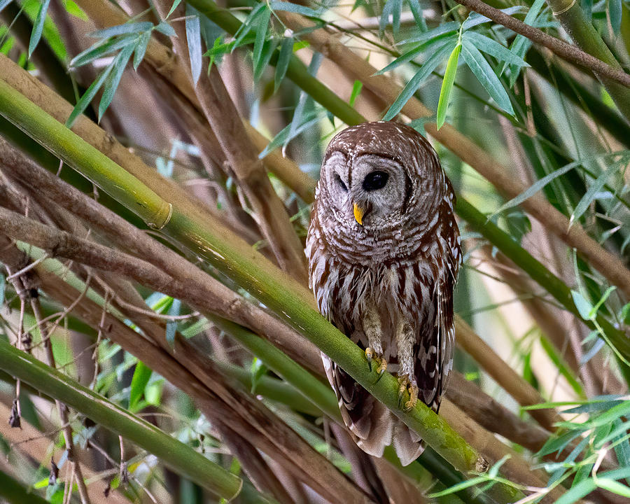 Barred Owl in Bamboo 2 Photograph by Larry Maras