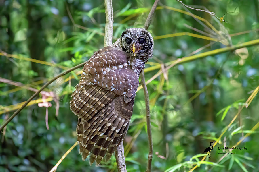 Barred Owl Juvenile 4 Photograph by Larry Maras