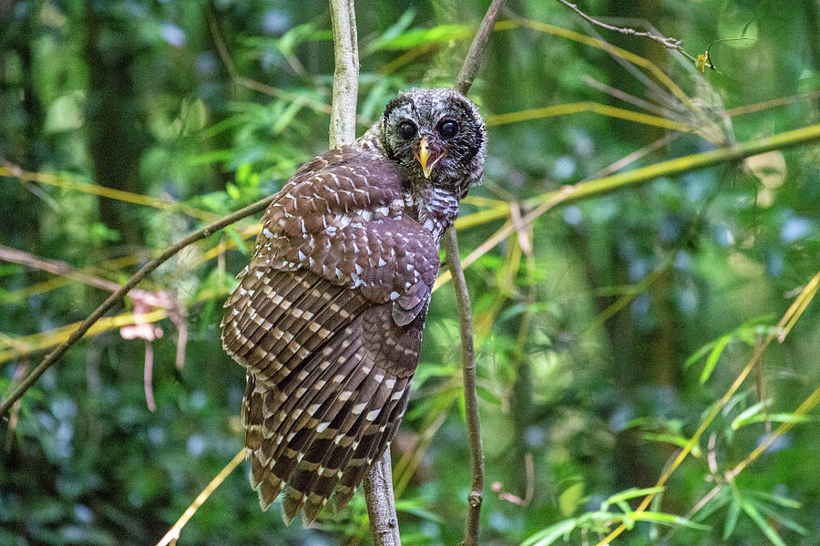Barred Owl Juvenile Drying Out Photograph by Larry Maras
