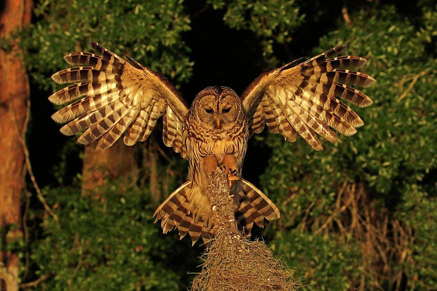 Barred Owl Photograph - Barred Owl Landing by MaryJane Sesto