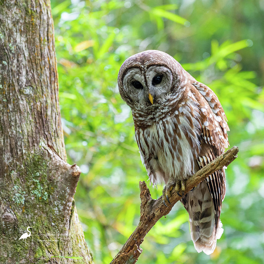 Barred Owl on Branch Photograph by Larry Maras