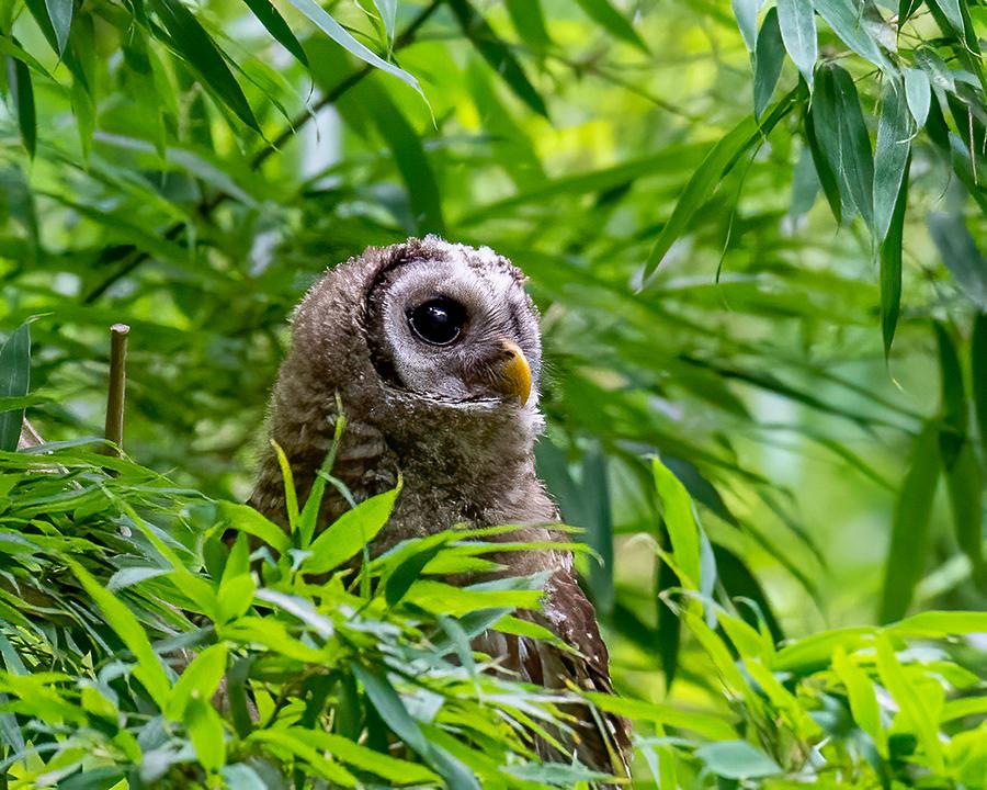 Barred Owl Peekaboo Photograph by Larry Maras