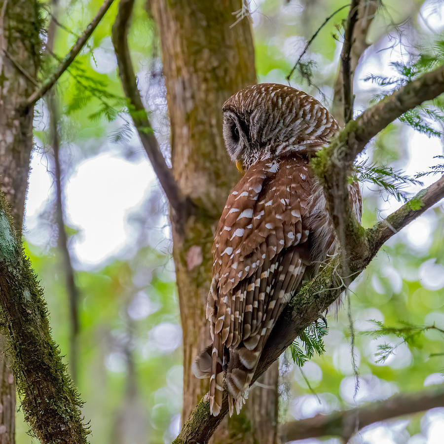 Barred Owl Profile Photograph by Larry Maras