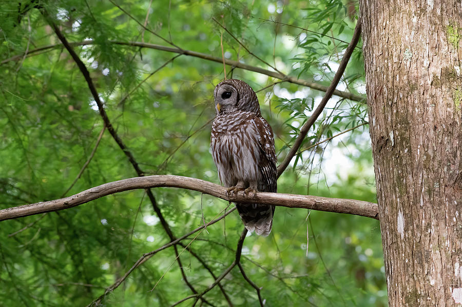 Barred Owl Silent Hunter Photograph by Larry Maras