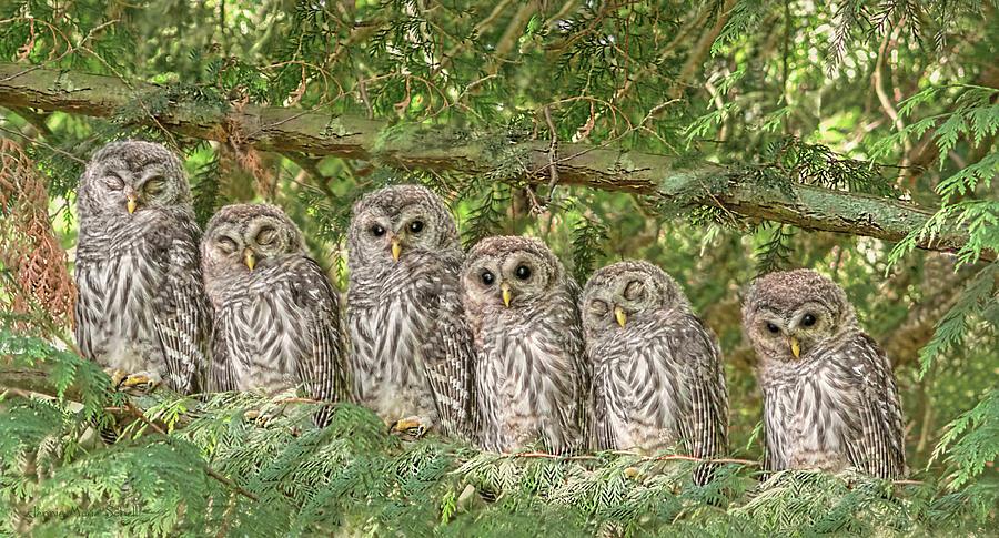 Owl Photograph - Barred Owlets Nursery by Jennie Marie Schell