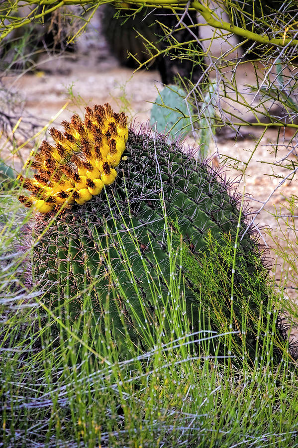 Barrel Cactus V1929 Photograph