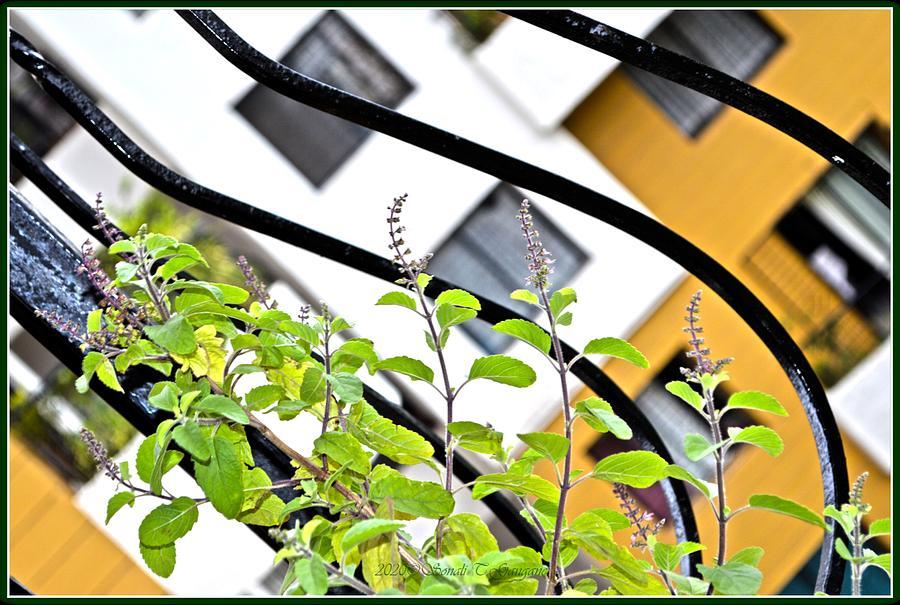 Basil Plant Photograph