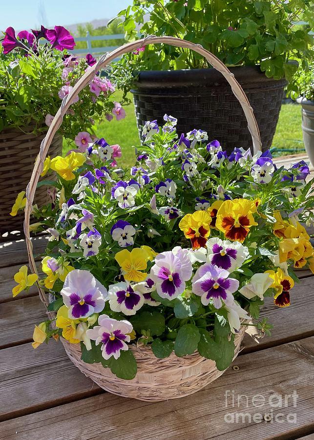 Basket Of Violas Photograph