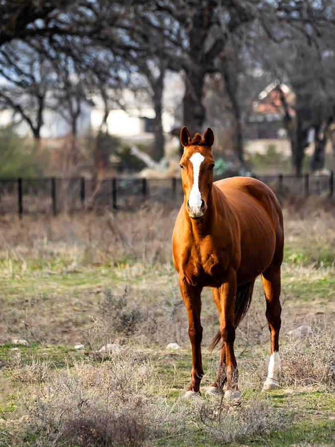 Horse Photograph - Bay Horse 3 by C Winslow Shafer