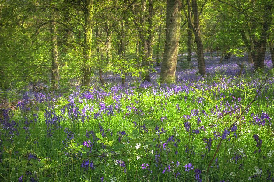 Beaconwood Bluebells Photograph