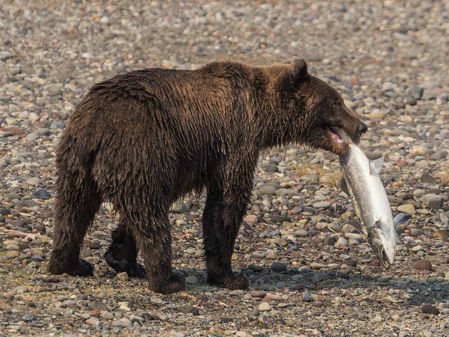 Bear Photograph - Bear #20 by Ken Weber