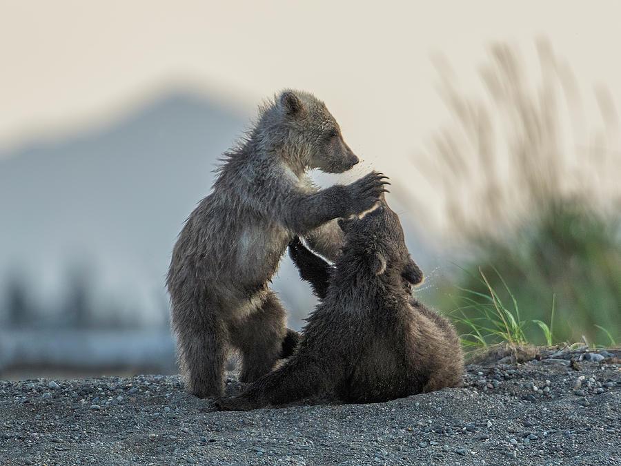 Bear Photograph - Bear Cubs #6 by Ken Weber