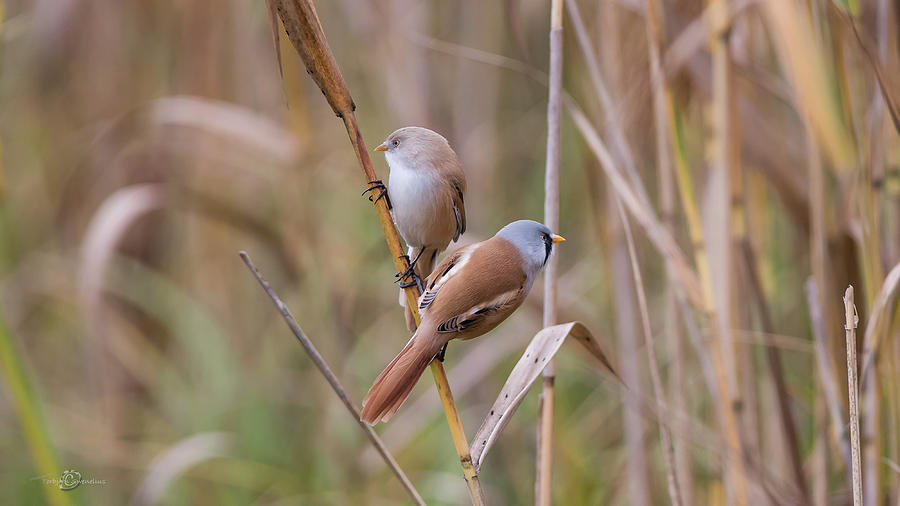 Bearded Tits Or Bearded Reedlings Couple On A Straw Photograph