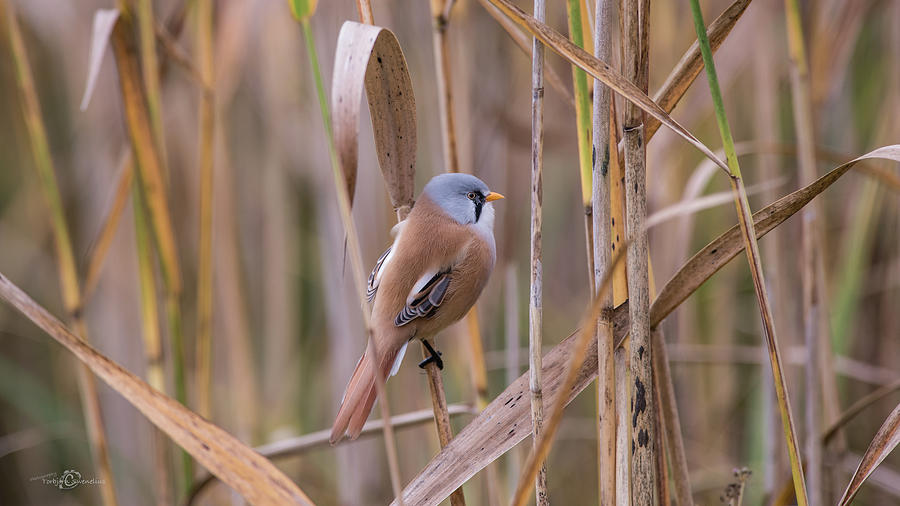 Bearded Tits Or Bearded Reedlings Male On A Straw Photograph