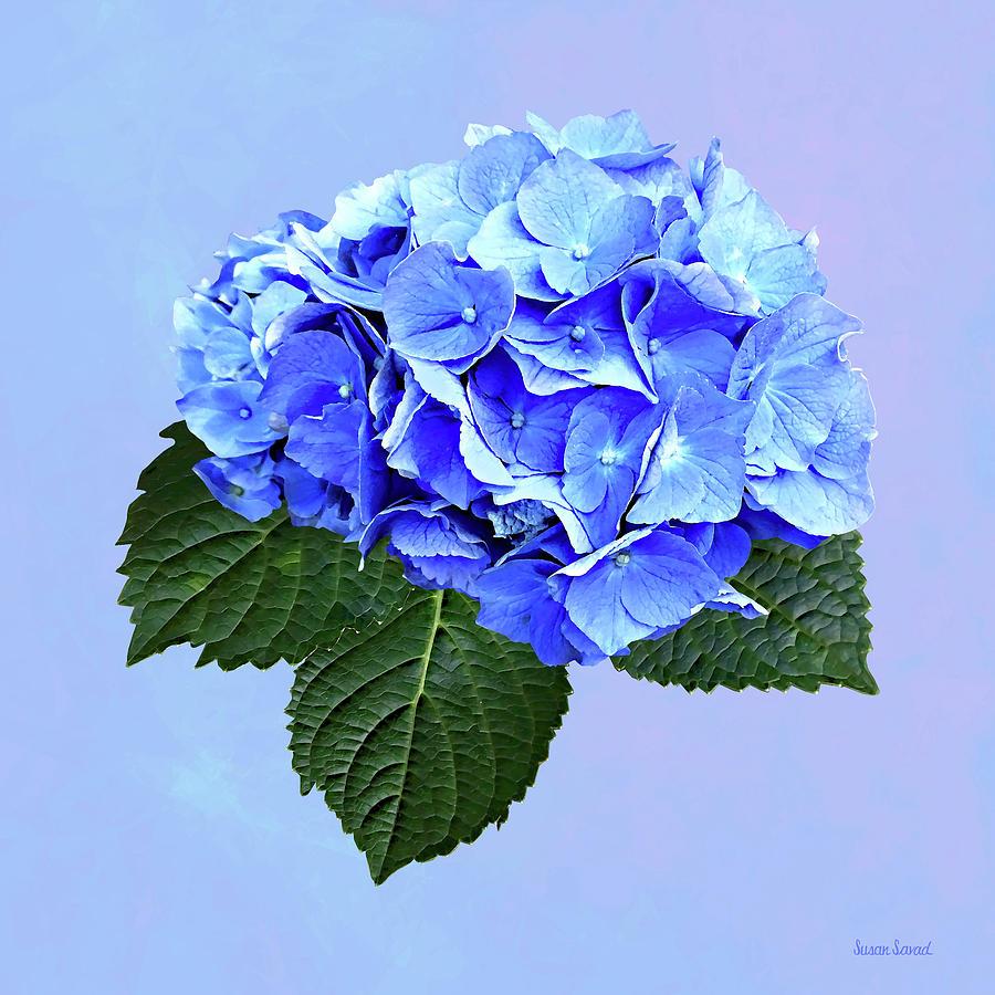 Beautiful Blue Hydrangea by Susan Savad