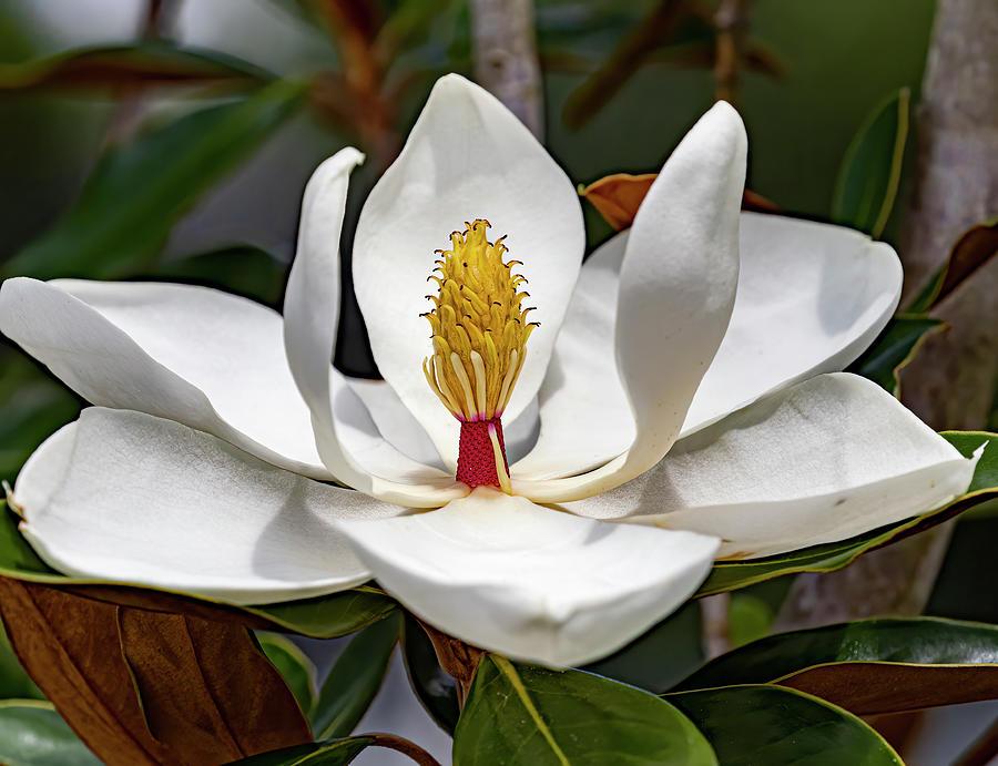 Beautiful Magnolia Bloom Photograph