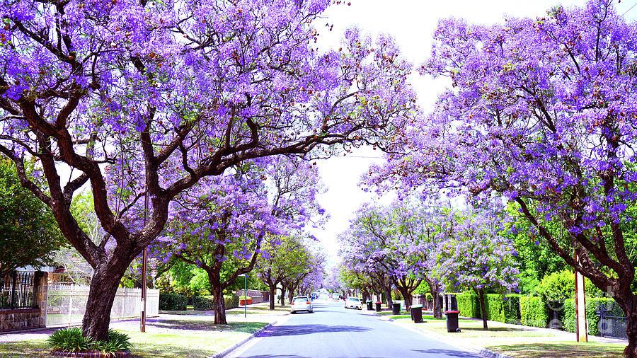 Beautiful Purple Flower Jacaranda Tree Lined Street In Full Bloom