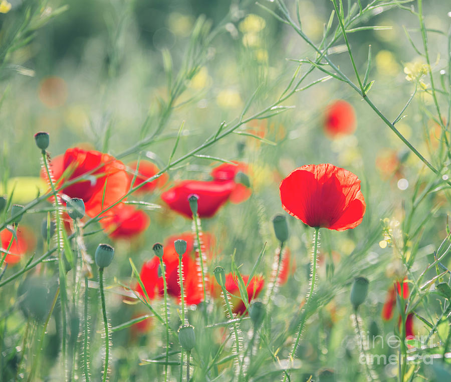 Beautiful red poppies in green field. by Jelena Jovanovic