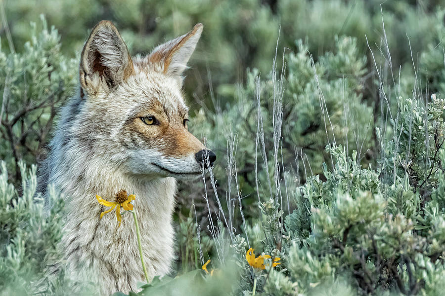 Beautiful Yellowstone Coyote Photograph