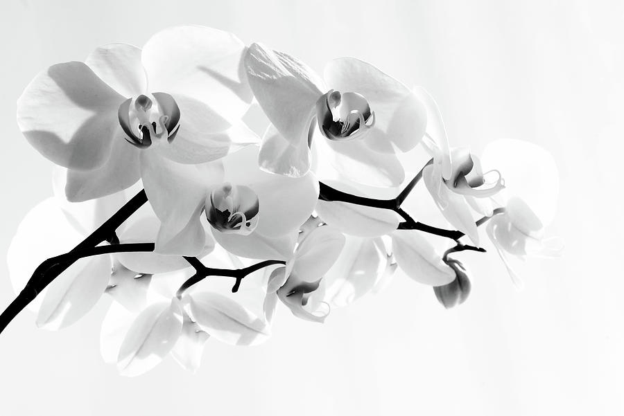 Beauty White Orchid Phalaenopsis Amabilis Flower Petal by John Williams
