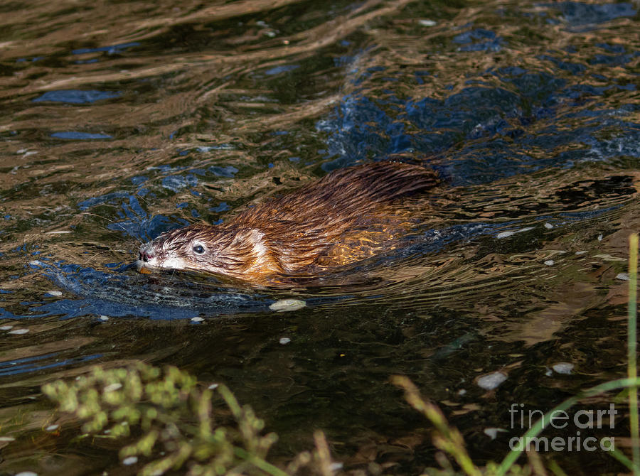 Beaver In The South Platte River Photograph