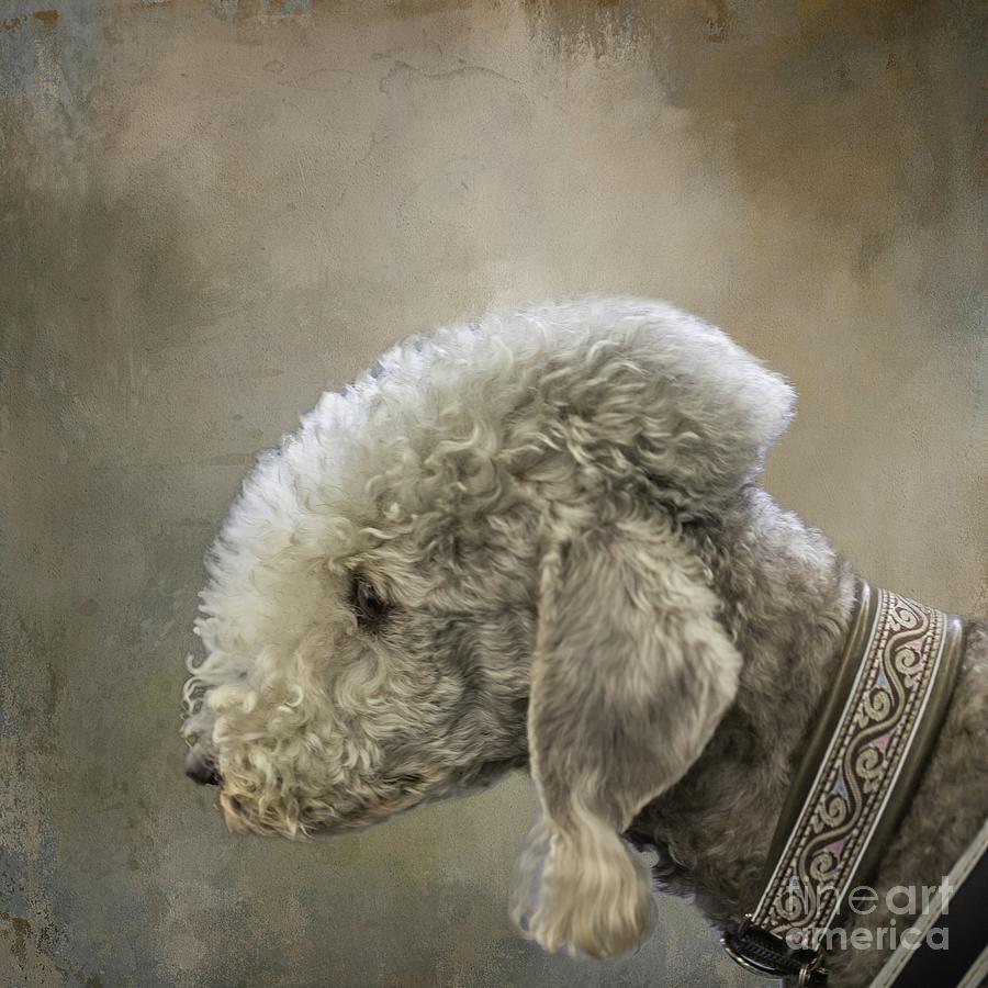 Bedlington Terrier by Eva Lechner