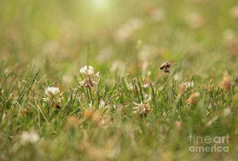 Bee In The Clover Photograph