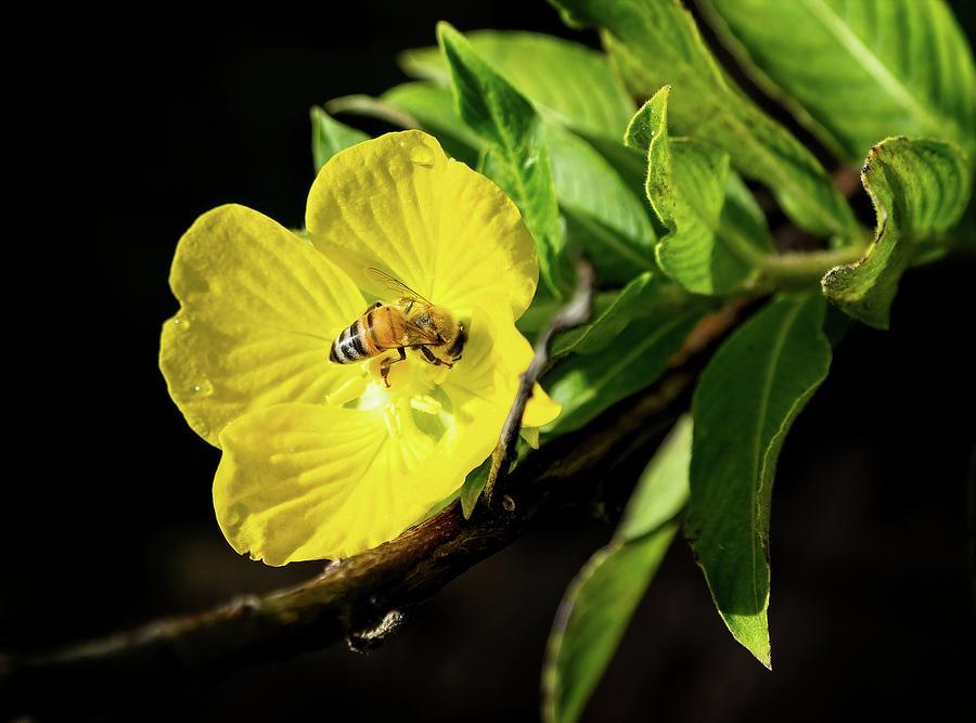 Bee in Yellow Flower by Steve DaPonte
