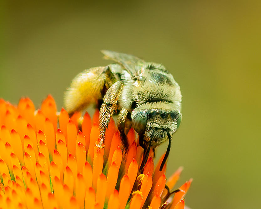 Bee on Cone Flower Photograph by Larry Maras