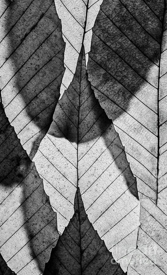 Beech Leaves BW by Joseph Miko