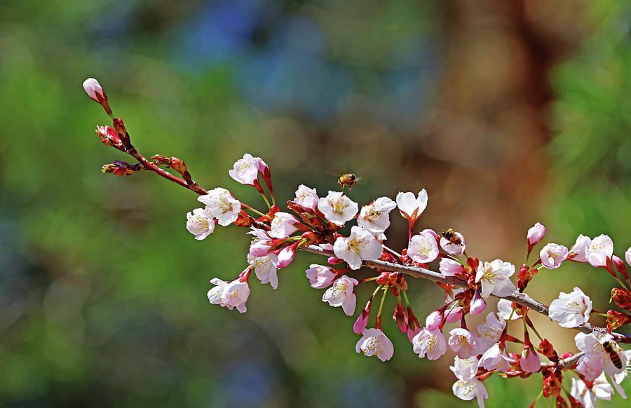 Bees And Blossoms Photograph