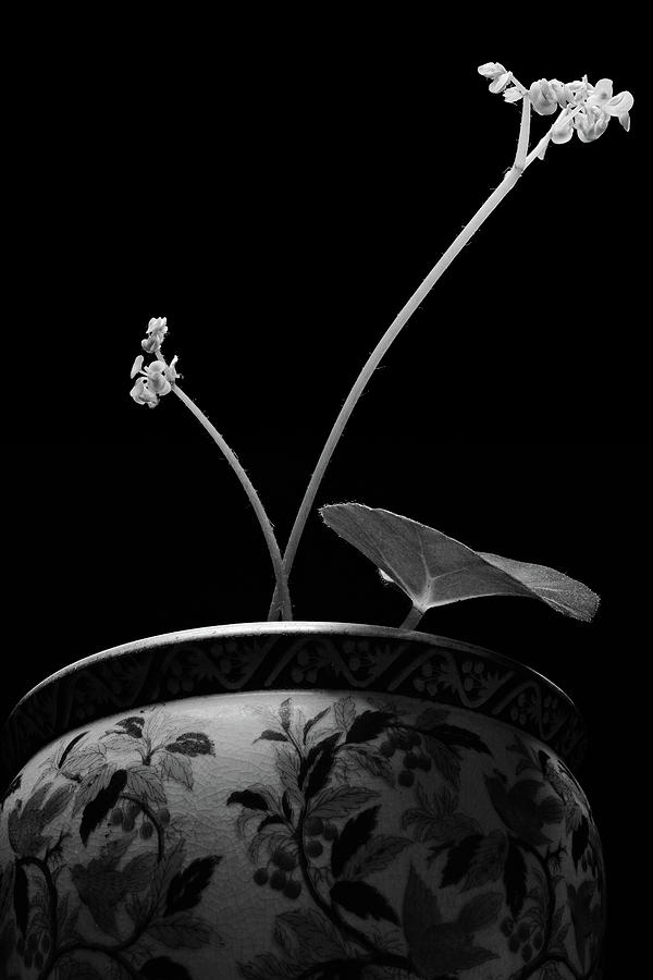 Begonia No. 1 Photograph by Stephen Russell Shilling