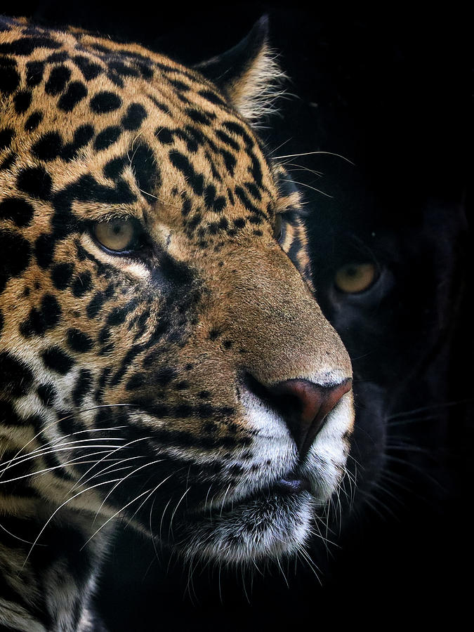 Jaguars Photograph - Behind every strong man... by RT Photography