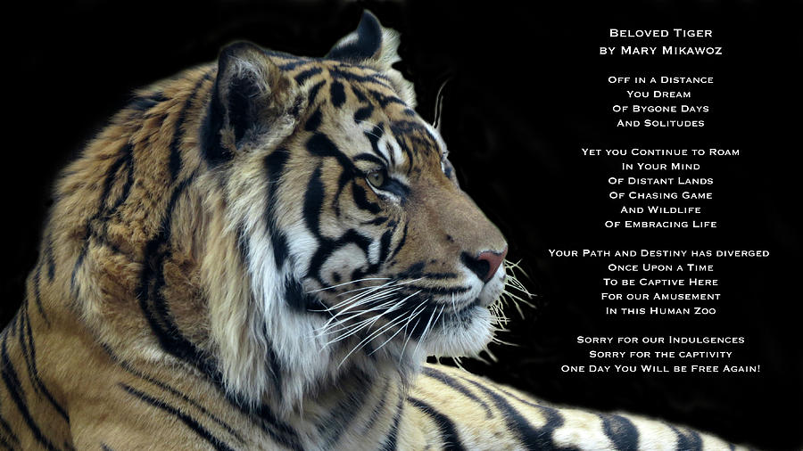 Tiger Photograph - Beloved Tiger by Mary Mikawoz