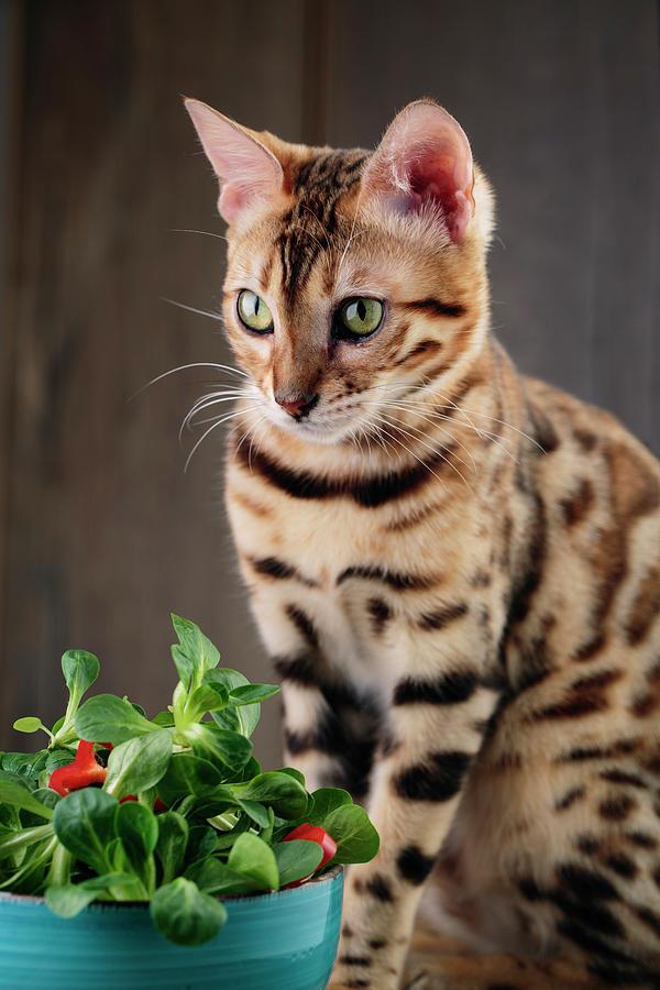 Bengal Cat Photograph