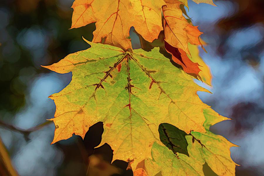 Berkshire Mountains Maple by Douglas Wielfaert