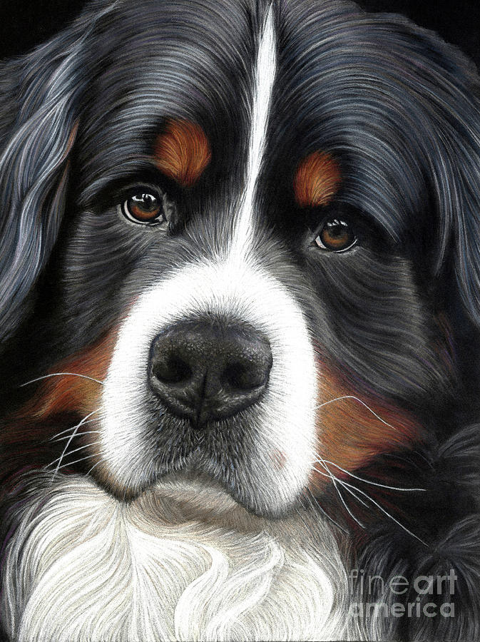 Bernese Mixed Media - Up Close - Bernese Mountain Dog by Donna Mulley