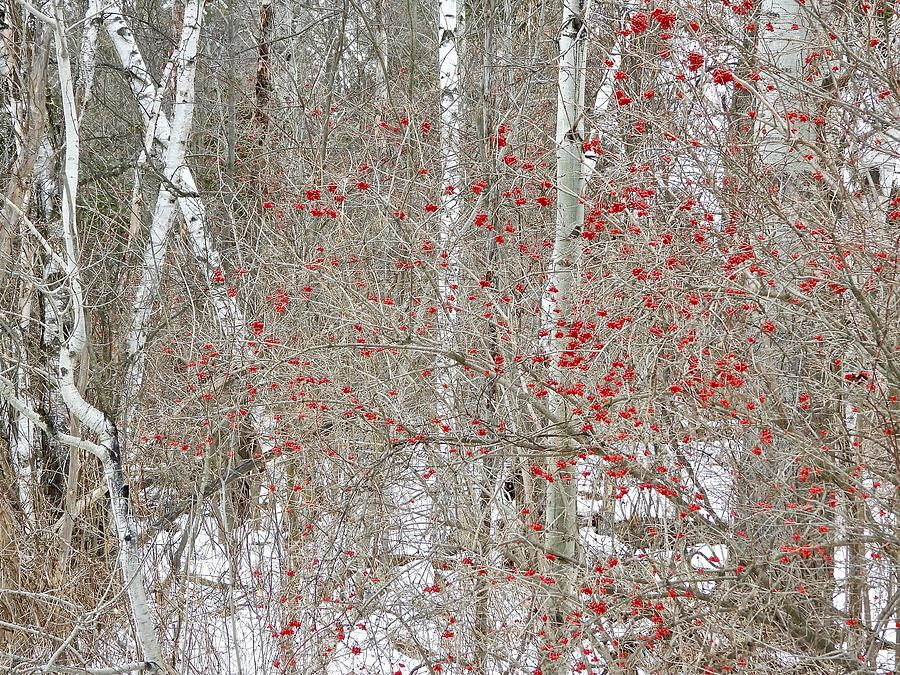 Berries And Birch Photograph