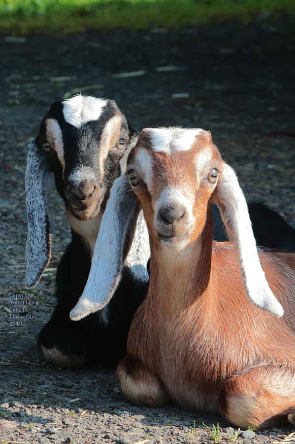 Goats Photograph - Best Friends by Robin Lea Thompson