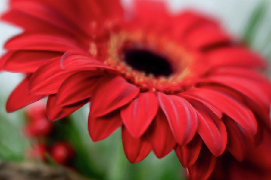 Big Red Gerbera Daisy by Barbara Rogers