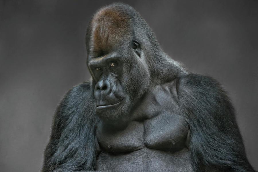 Big Silverback Gorilla Photograph